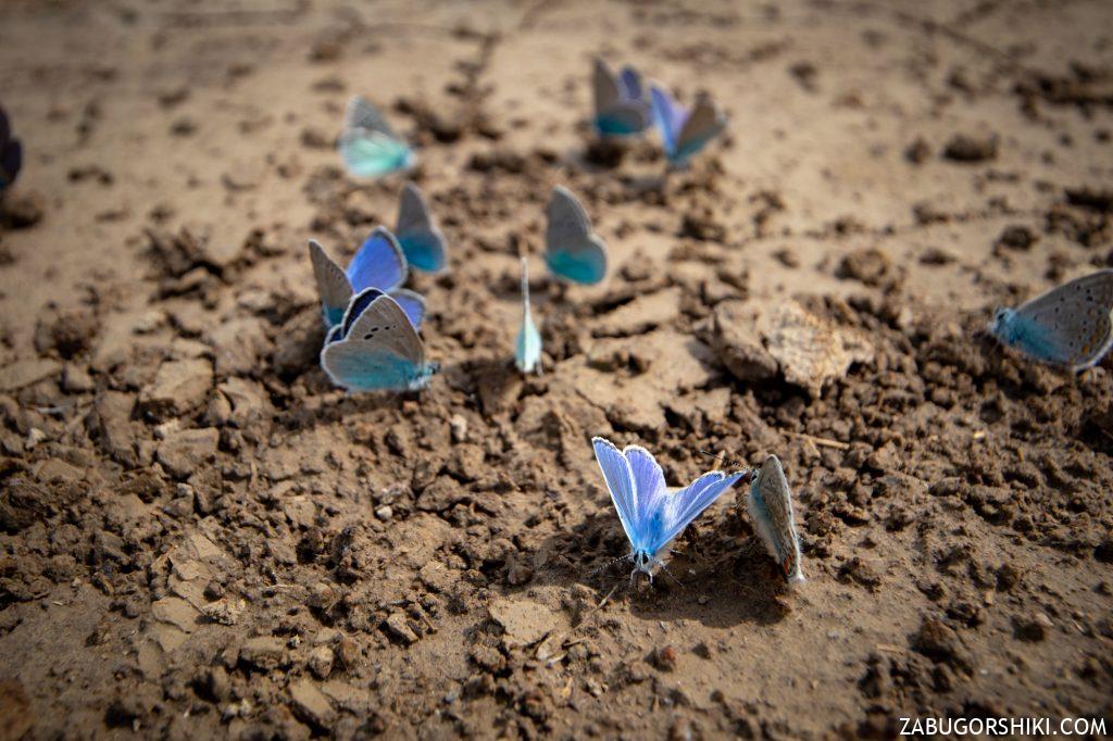 Бабочки в Казахстане