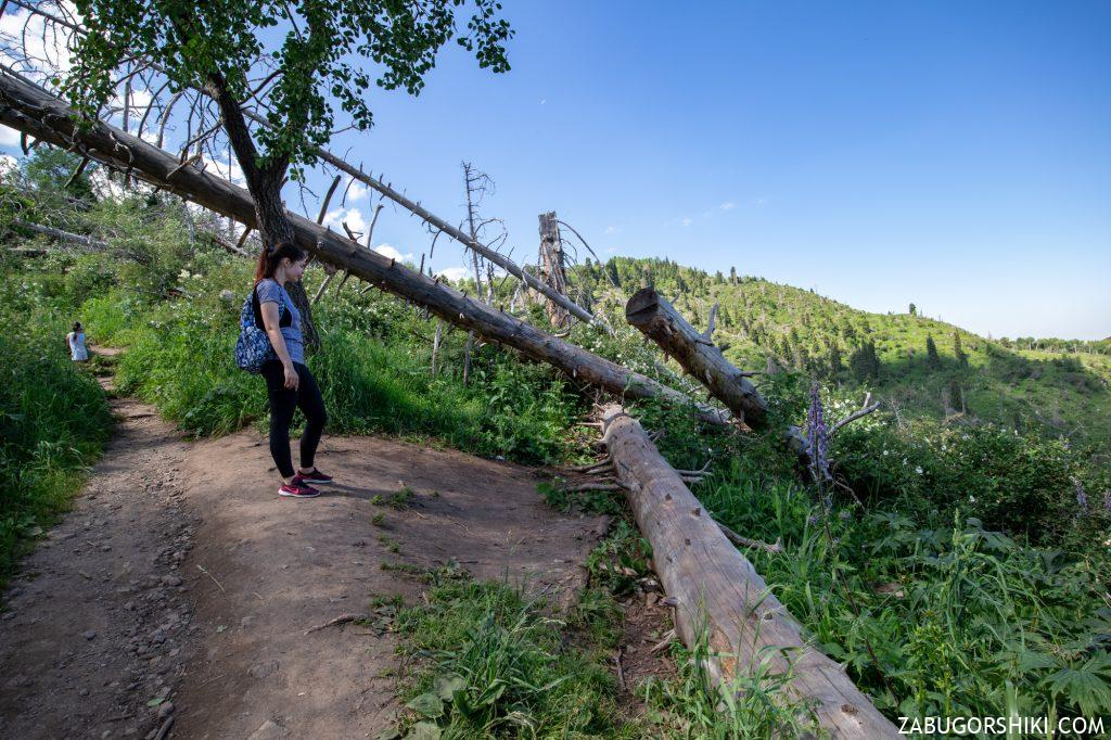 Поваленные деревья на Кок-Жайляу
