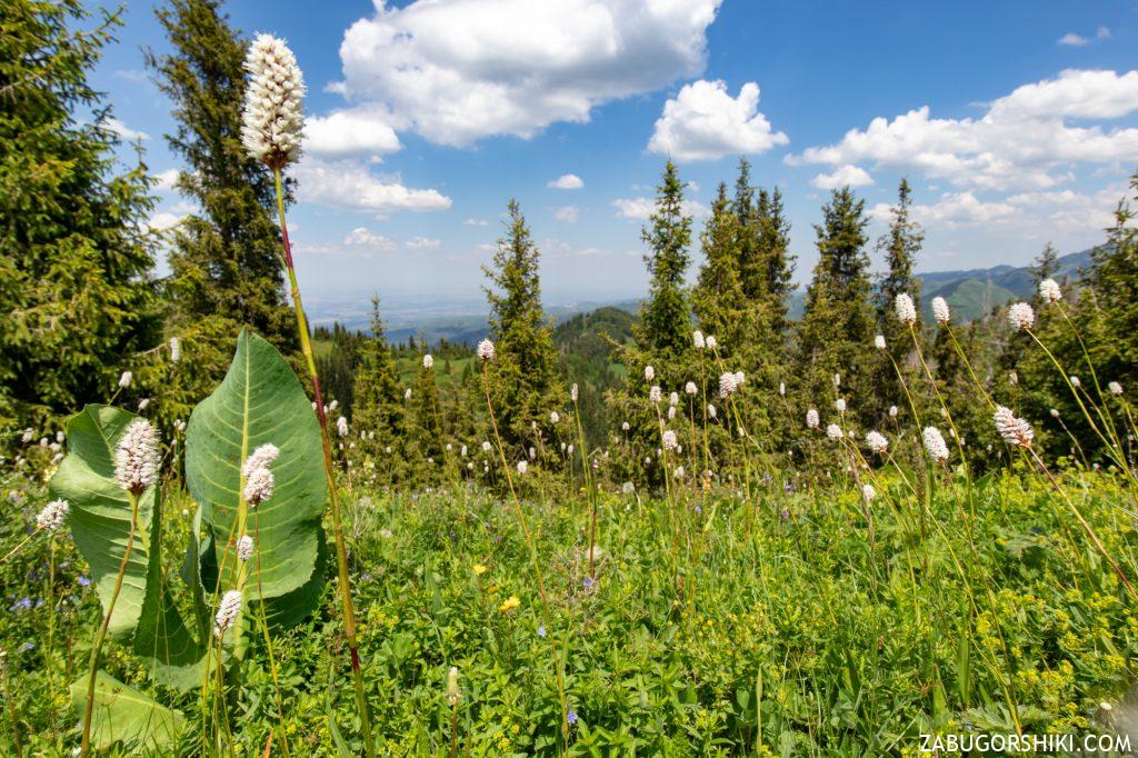 Растения на  Кок-Жайляу